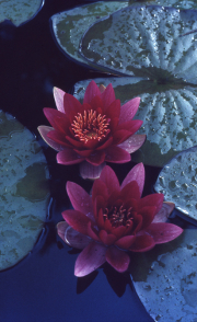 DEEP RED WATERLILY