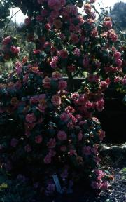 CAMELLIA 'GLOIRE DE NANTES'