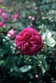 QUARTERED OLD ROSE [RED]