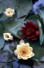 YELLOW & RED WATERLILIES