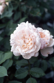 WHITE OLD FASHIONED ROSE