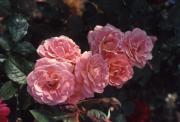 ROSE 'ELIZABETH OF GLAMIS'