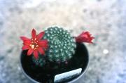 RED REBUTIA IN FLOWER