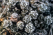 SAXIFRAGE, FROSTED