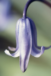 BLUEBELL - CLOSE UP