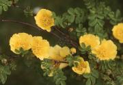 ROSA CANTABRIGIENSIS - FLOWERS