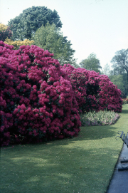 RHODODENDRON WALK [RED]