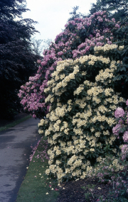 YELLOW RHODODENDRON IN DELL