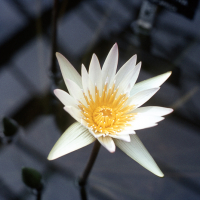 WHITE TROPICAL WATERLILY