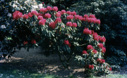 RHODODENDRON 'BULSTRODE PARK' [RED]