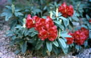 RHODODENDRON 'MARIE'? [RED]