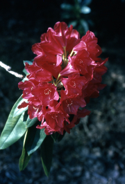 RHODODENDRON 'EARL OF ATHLONE'? [RED]