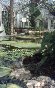 VICTORIA AMAZONICA IN THE OLD GLASSHOUSE
