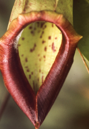 PITCHER PLANT MOUTH