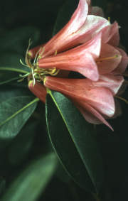 RHODODENDRON LADY ROSEBURY