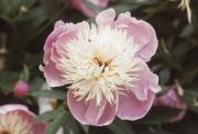 PAEONY - SINGLE FLOWER