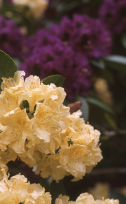 YELLOW RHODODENDRON, PURPLE IN BACKGROUND