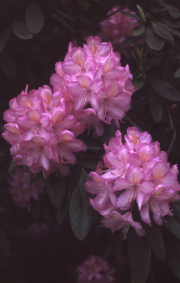 MAUVE-PINK RHODODENDRON