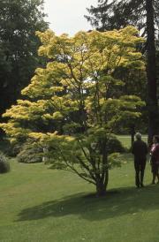 YELLOW FOLIAGE TREE
