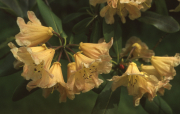 YELLOW BELL RHODODENDRON