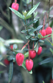 CLIMBER WITH RED BELLS