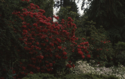 RED RHODODENDRON ETC.