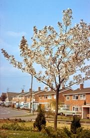 Prunus 'Tai Haku' in flower