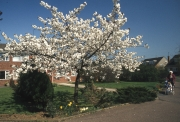 Cherry tree at 1 Lynmouth Avenue