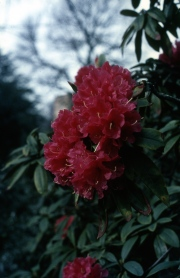 Red hardy hybrid Rhododendron