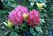 Pink hardy hybrid Rhododendron