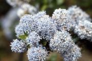 Ceanothus flowers