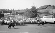 Sheep at Banbury Lane crossing