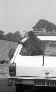 Baboon on a car