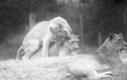 Lions, er, getting frisky