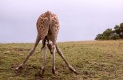 Giraffe, bending