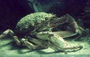 Spider crab in the aquarium