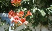 Campsis flowers