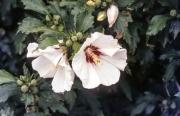 White hardy Hibiscus