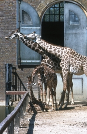 Giraffes with young