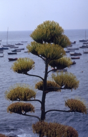 Agave Flowers