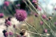 Hedgerow plant